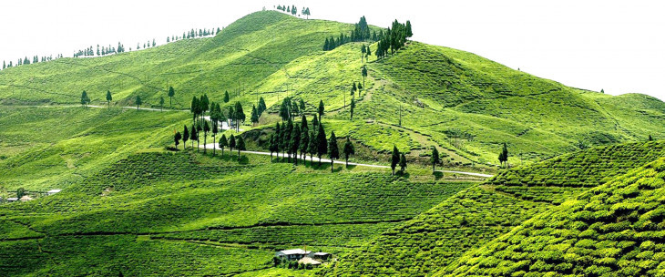 Amazing View of Ilam Tea Garden in Nepal